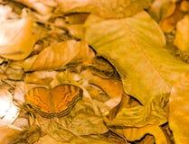 Brown Butterly en las hojas de Brown Fotos de archivo libres de regalías