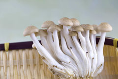 Brown button mushrooms Stock Images