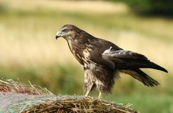 Brown buzzard Royalty Free Stock Photo
