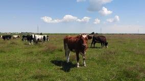 Brown byk w centrum stadzie krowy w paśniku Życie w wiosce swobodny ruch zdjęcie wideo