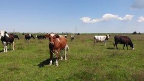 Brown byk w centrum stadzie krowy w paśniku Zwolnione tempo, niecka zbiory