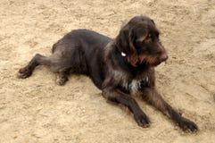 Brown, cão de caça alemão foto de stock royalty free