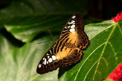 Brown cążki motyla portret Fotografia Royalty Free