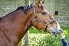Brown całowania dziecka końska ręka Zdjęcie Royalty Free