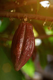 Brown cacao pod Royalty Free Stock Photo