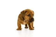 Brown, cachorrinho bronzeado de Jack Russel isolado no branco Imagens de Stock