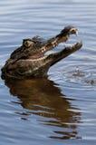 Brown Caiman. (Caiman crocodilus fuscus) , Los LLanos, Venezuela, South America royalty free stock images