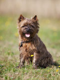 Brown Cairn Terrier Dog Stock Photography