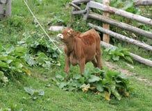 Brown calf Stock Photography