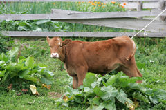 Brown calf Royalty Free Stock Images