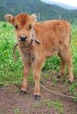 Brown calf Royalty Free Stock Image