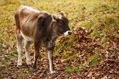 Brown calf Stock Image