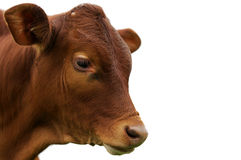 A brown calf. Against a white background Stock Photo