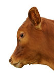 A brown calf. Against a white background Stock Photography