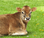 Brown calf. Young brown calf  laying on a green  grass Royalty Free Stock Photo