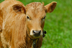 Brown calf Stock Images