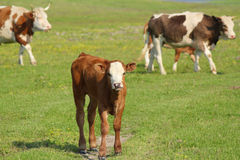 Brown calf and cows Royalty Free Stock Photography