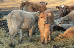 Brown calf. Cute little brown calf among some other cows living outdoors Stock Photo