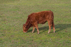 Brown calf eating grass in the green meadows Royalty Free Stock Photography