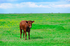 Brown calf on the field Stock Photo