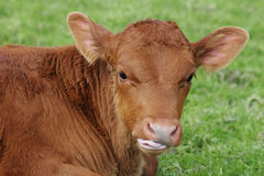 Brown calf with his tongue out. Cute brown calf in the paddock with his tongue sticking out royalty free stock photo