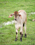 Brown calf Royalty Free Stock Photos