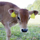 Brown calf in meadow looks with big eyes Stock Photos