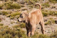 brown calf Royalty Free Stock Image