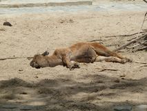 The brown calf is sleeping in a German zoo. A dead or living little cow lies on the sand in the sun Stock Photo