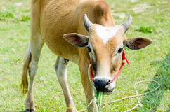 Brown calf Royalty Free Stock Photography