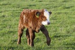 Brown calf walk on green meadow Royalty Free Stock Image