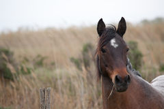 Brown camargue horse Royalty Free Stock Photography