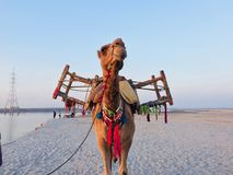Brown Camel Stock Photography
