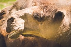 Brown Camel royalty free stock photo