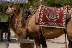 Brown Camel stock photo
