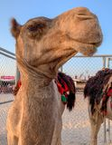 Brown Camel Smile Up Close. Brown Camel with blankets on its back up close and smiling at camera royalty free stock photo