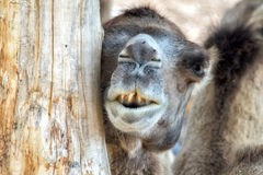 Brown camel close up portrait Royalty Free Stock Images