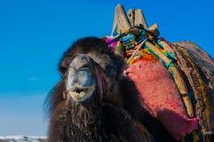 Brown camel closeup Stock Photography