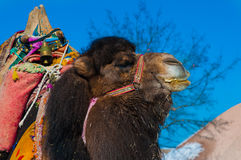 Brown camel closeup Stock Image