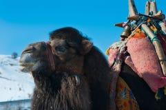 Brown camel closeup. Brown camel in harness closeup royalty free stock photography
