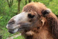 Brown Camel, Dromedary Royalty Free Stock Image