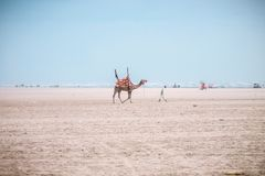 Brown Camel Following Man Under Blue Sky stock photography
