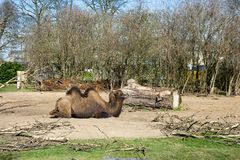 A brown camel in his review. A brown camel lies on earth in his review in the zoo park Royalty Free Stock Photos