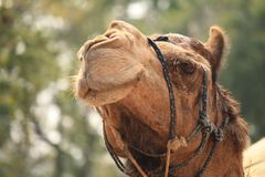 Brown Camel Photography Stock Image