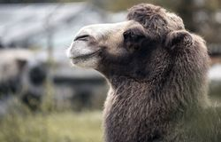 Brown Camel portrait. Brown camel with long fur looking ahead stock photos