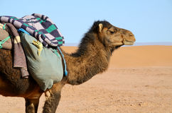 Brown camel Royalty Free Stock Photography