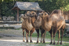 Brown camel trio portrait Royalty Free Stock Image
