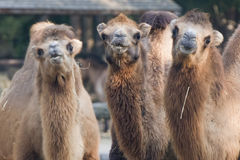 Brown camel trio portrait Royalty Free Stock Photos