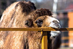 Brown camel in zoo. Eating fence Royalty Free Stock Photos