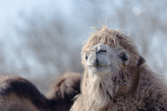 Brown camel in zoo. Light brown camel in zoo looking in camera Stock Photography